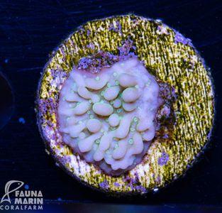 FMC Montipora Blue Shimmer (Filter- + Daylight-Shot!) – Bild 2