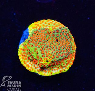 US Style Primefrags® Montipora Grinch  V  (Filter- + Daylight-Shot picture!)