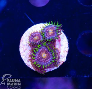 FMC Zoanthus Nirvana V (Filter + Daylight-Shot picture!) – Bild 2