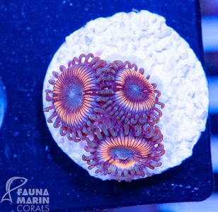 FMC Zoanthus Vampire V  (Filter- + Daylight-Shot picture!) – Bild 1