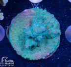 FMC Acropora Green Monster 001
