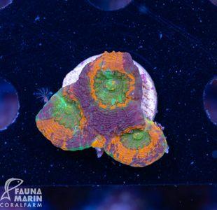 FMC Acanthastrea echinata Ninja Turtles (Filter- + Daylightshot!) – image 1