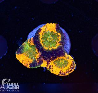 FMC Acanthastrea echinata Ninja Turtles (Filter- + Daylightshot!) – image 2