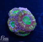 US Style Primefrags® Acanthastrea Green Eye (Filter- + Daylight-Shot picture!) 001
