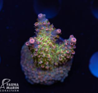 US Style Primefrags® Acropora anthocercis Hairy Sunset (Filter- + Daylight-Shot picture!)