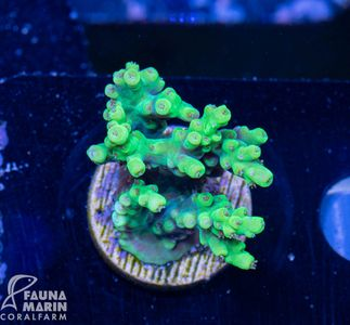 US Style Primefrags® Acropora aculeus (Filter- + Daylight-Shot picture!) – image 1