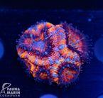US Style Primefrags® Acanthastrea rainbow (Filter- + Daylight-Shot picture!) 001