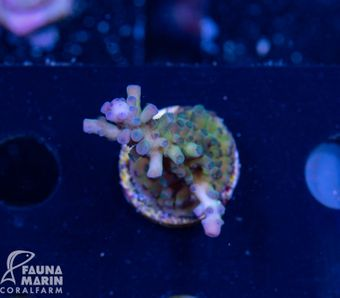 FMC Acropora austera (Filter- + Daylight-Shot!) – Bild 2