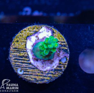 US Style Primefrags® Acropora Green Massacre (Filter- + Daylight-Shot picture!) – Bild 1