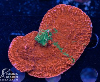 FMC Montipora grafted L Frag (Filter- + Daylight-Shot picture!) – Bild 2