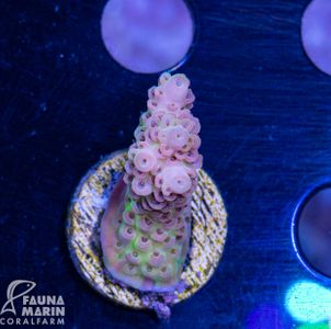 US Style Primefrags® Acropora Lala Land (Filter- + Daylight-Shot picture!) – Bild 2