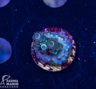 US Style Primefrags® Acropora Mighty Mouse (Filter- + Daylight-Shot picture!) – Bild 1
