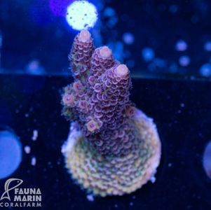 US Style Primefrags® Acropora hyacinthus Rainbow (Filter- + Daylight-Shot picture!) – Bild 2