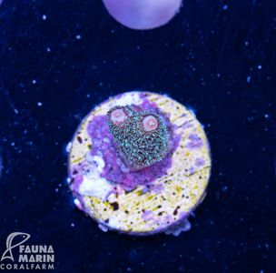 US Style Primefrags® Acropora White Horse (Filter- + Daylight-Shot picture!) – Bild 2