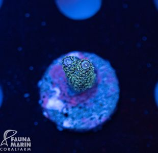US Style Primefrags® Acropora White Horse (Filter- + Daylight-Shot picture!) – Bild 1
