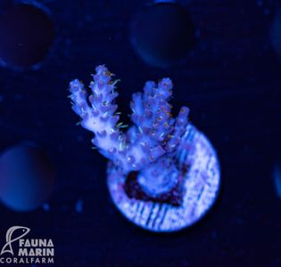 US Style Primefrags® Acropora Orchid Glowstick (Filter- + Daylight-Shot picture!) – Bild 1
