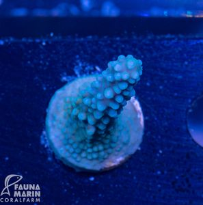 FMC Acropora Blue Stag