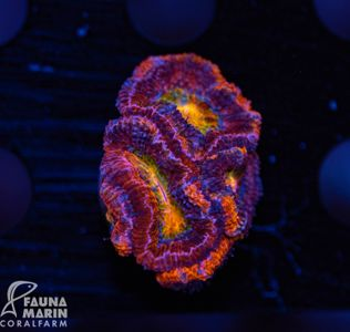 US Style Primefrags® Acanthastrea rainbow (Filter- + Daylight-Shot picture!) – image 1