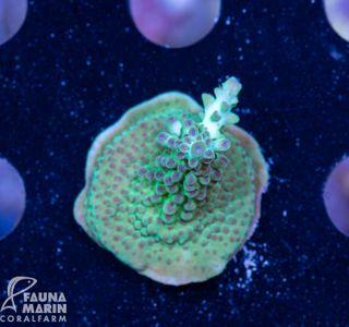 FMC Acropora Green + Purple Tip