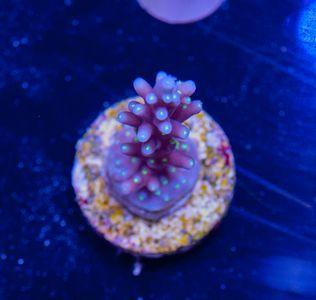 US Style Primefrags® Acropora carduus Purple Dragon (Filter- + Daylight-Shot picture!) – Bild 2