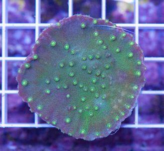 FMC Turbinaria Light Green
