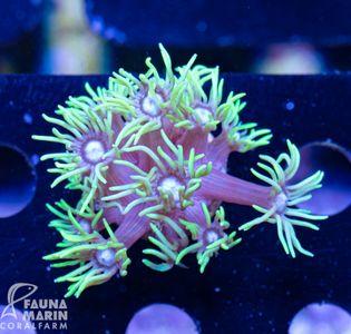 FMC Goniopora extreme green