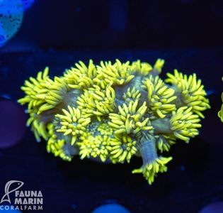 FMC Goniopora Extreme Green V (Filter + Daylight-Shot)