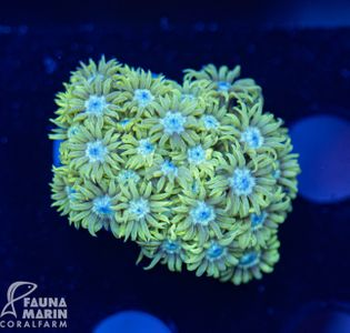 US Style Primefrags® Goniopora green blue center V ( Filter- + Daylight-Shot picture!) – Bild 1