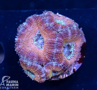 US Style Primefrags® Acanthastrea Blue Cheese  (Filter- + Daylight-Shot picture!) – Bild 2