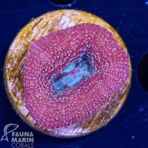 FMC Acanthastrea bowerbanki  V