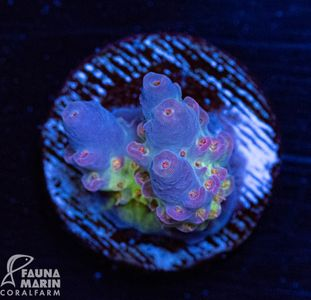 US Style Primefrags® Acropora anthocercis Rainbow (Filter- + Daylight-Shot picture!)  – Bild 1