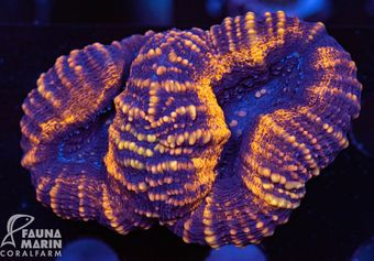 FMC Lobophyllia (Filter- + Daylight-Shot picture!) – Bild 1