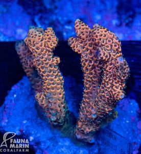 FMC Acropora millepora INDO (Filter- + Daylight-Shot picture!)