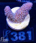 FMC Acropora spathulata 001