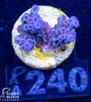FMC Acropora tenuis blue  001