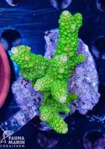 FMC Acropora formosa Indo (Filter- + Daylight-Shot picture!)  – Bild 2
