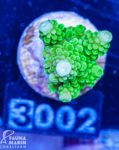 FMC Acropora staghorn green indo 001