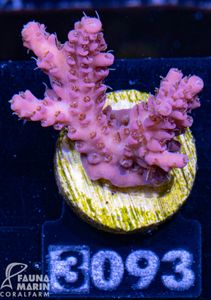 FMC Acropora Lovelight