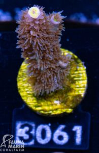 FMC Acropora tenuis Links Awakening