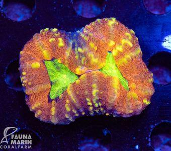 FMC Lobophyllia bicolor (Filter- + Daylight-Shot picture!) – image 1