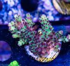 FMC Acropora rosetip  V  (Filter- + Daylight-Shot picture!) 001