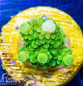 FMC Acropora staghorn green indo (Filter- + Daylight-Shot picture!) – Bild 2