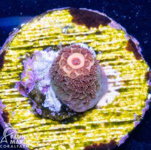 FMC Acropora millepora (Filter- + Daylight-Shot picture!) – Bild 2
