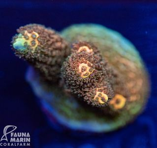 FMC Acropora millepora (Filter- + Daylight-Shot picture!) – Bild 1
