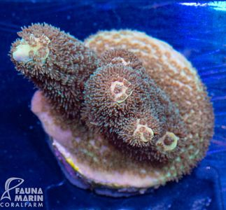FMC Acropora millepora (Filter- + Daylight-Shot picture!) – Bild 2