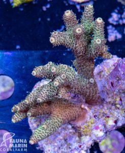 FMC Acropora millepora INDO (Filter- + Daylight-Shot picture!) – Bild 2