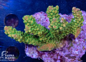 FMC Acropora Sour Patch INDO (Filter- + Daylight-Shot picture!) – Bild 2