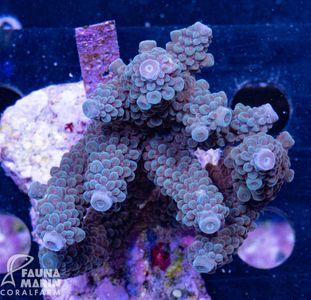 FMC Acropora staghorn blue indo