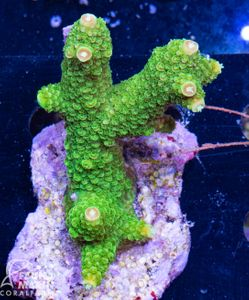 FMC Acropora staghorn indo