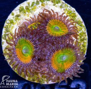 FMC Zoanthus Sunny D (Filter + Daylight-Shot picture!) – Bild 2